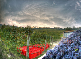 The harvest - photo by Edoardo Cicchetti - Archive Ente Turismo Alba Bra Langhe Roero